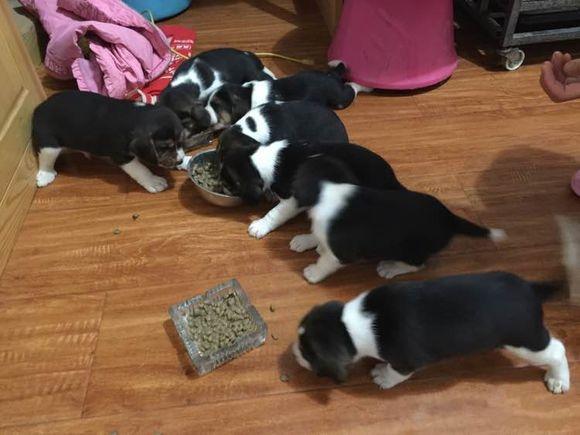 纯种比格犬价格 米格鲁猎兔犬 精品比格犬 疫苗齐全 可送货11