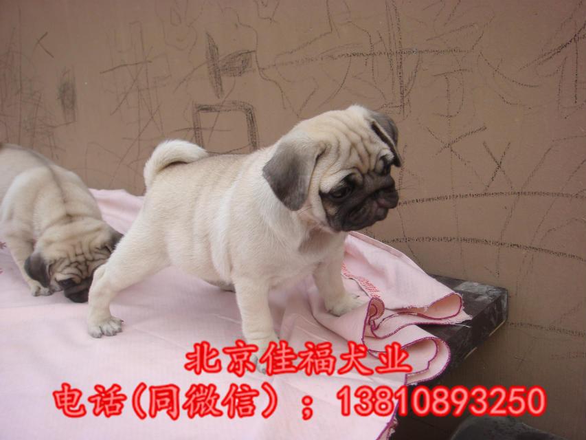 纯种巴哥犬价格 鹰版巴哥 精品巴哥犬 签订协议 可送货7