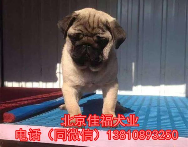 纯种巴哥犬价格 鹰版巴哥 精品巴哥犬 签订协议 可送货1