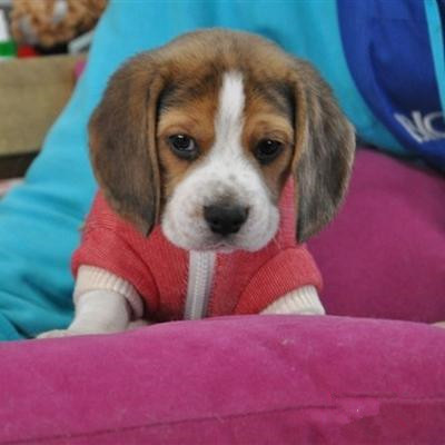 纯种比格犬价格 米格鲁猎兔犬 精品比格犬 疫苗齐全 可送货6