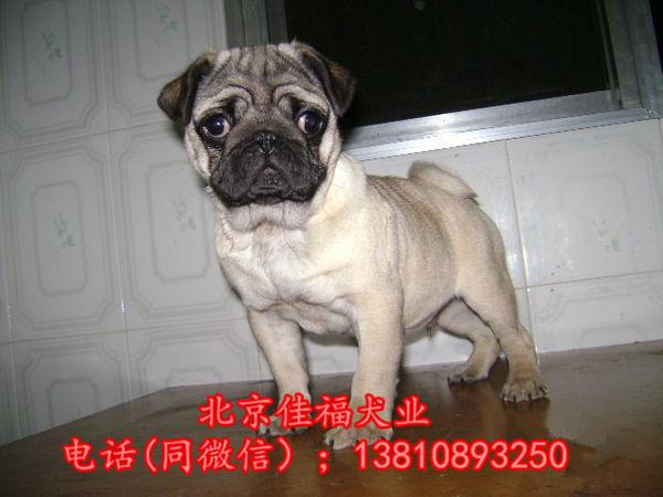 纯种巴哥犬价格 鹰版巴哥 精品巴哥犬 签订协议 可送货3