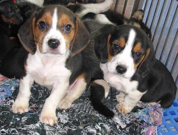 纯种比格犬价格 米格鲁猎兔犬 精品比格犬 疫苗齐全 可送货8