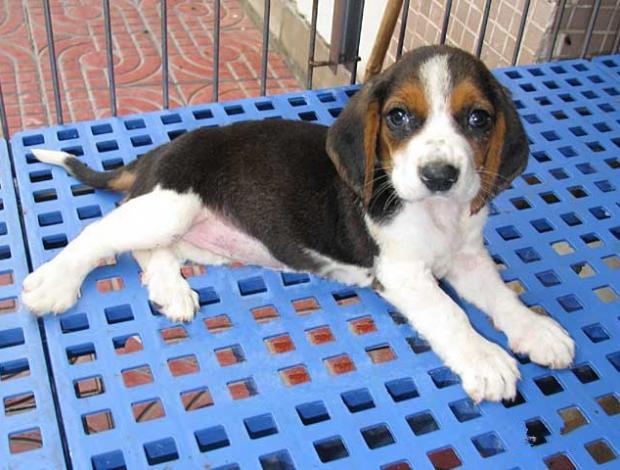 纯种比格犬价格 米格鲁猎兔犬 精品比格犬 疫苗齐全 可送货7