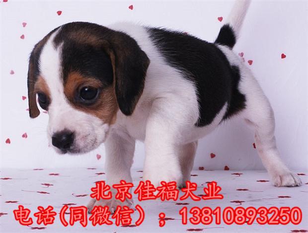 纯种比格犬价格 米格鲁猎兔犬 精品比格犬 疫苗齐全 可送货10