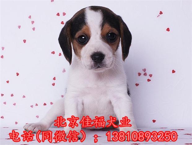 纯种比格犬价格 米格鲁猎兔犬 精品比格犬 疫苗齐全 可送货5