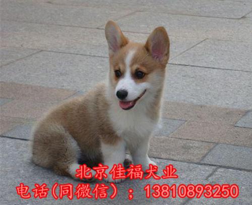北京哪里卖纯种柯基犬 威尔士柯基犬 包健康包血统 签协议7