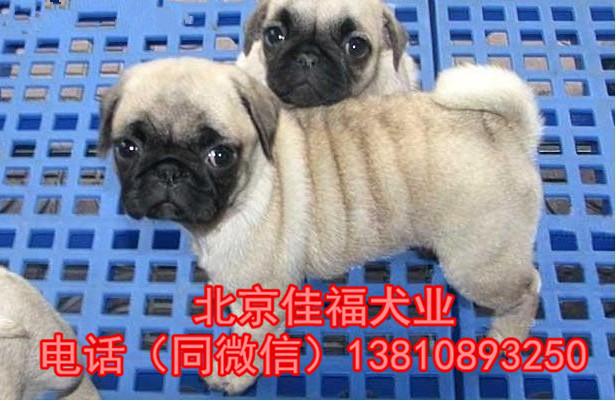 纯种巴哥犬价格 鹰版巴哥 精品巴哥犬 签订协议 可送货2