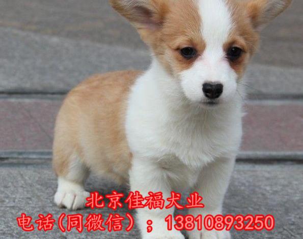 北京哪里卖纯种柯基犬 威尔士柯基犬 包健康包血统 签协议9