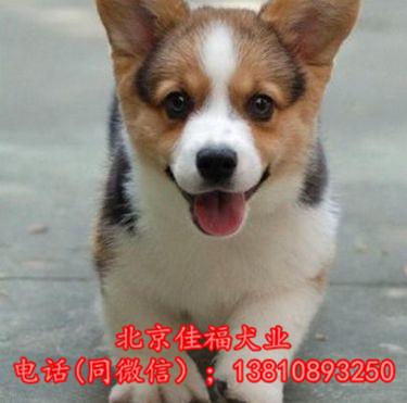 北京哪里卖纯种柯基犬 威尔士柯基犬 包健康包血统 签协议5