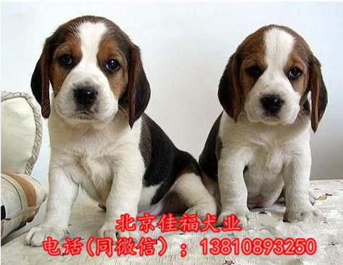 纯种比格犬价格 米格鲁猎兔犬 精品比格犬 疫苗齐全 可送货1