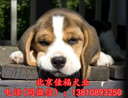 纯种比格犬价格 米格鲁猎兔犬 精品比格犬 疫苗齐全 可送货12