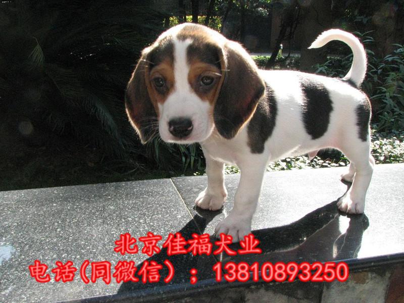 纯种比格犬价格 米格鲁猎兔犬 精品比格犬 疫苗齐全 可送货4
