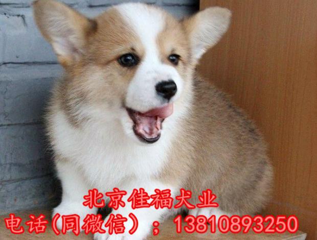 北京哪里卖纯种柯基犬 威尔士柯基犬 包健康包血统 签协议3