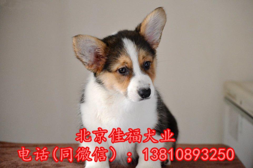 北京哪里卖纯种柯基犬 威尔士柯基犬 包健康包血统 签协议1