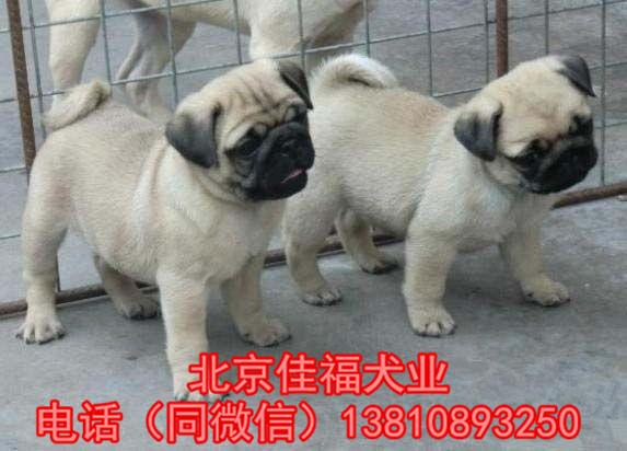 纯种巴哥犬价格 鹰版巴哥 精品巴哥犬 签订协议 可送货10