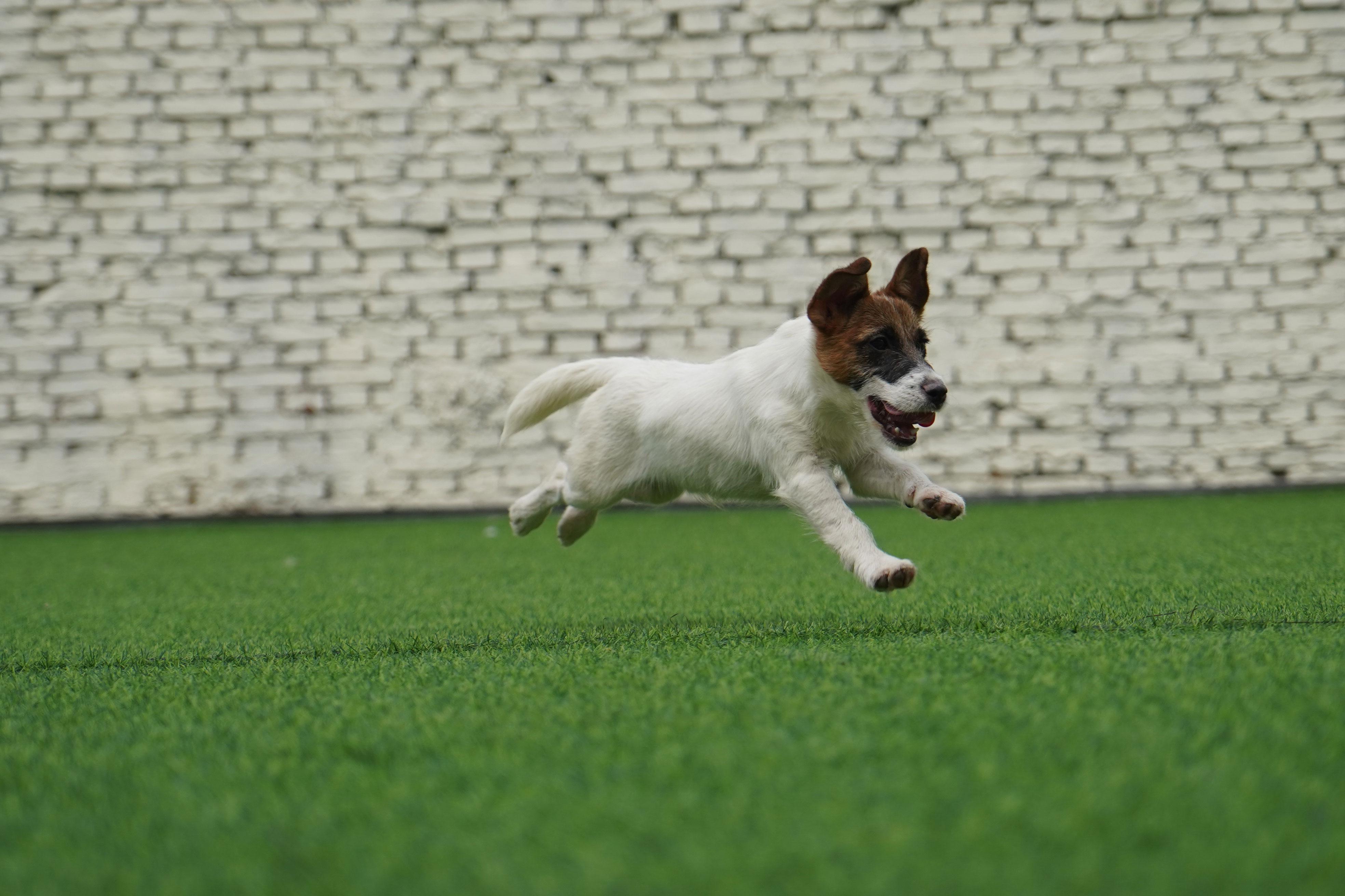 顶级杰克罗素梗幼犬出售