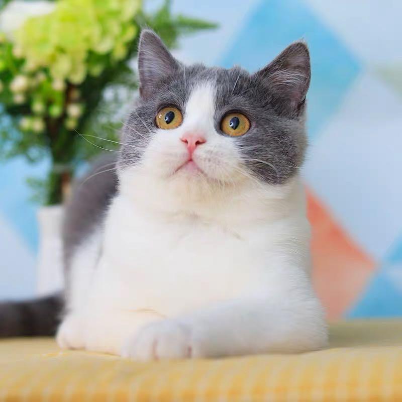 宠物猫英短多少钱一只图片