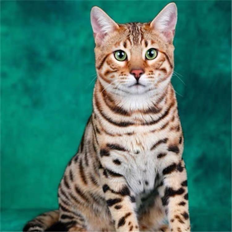 CFA注册猫舍孟加拉豹猫活体幼猫 可支持上门挑选