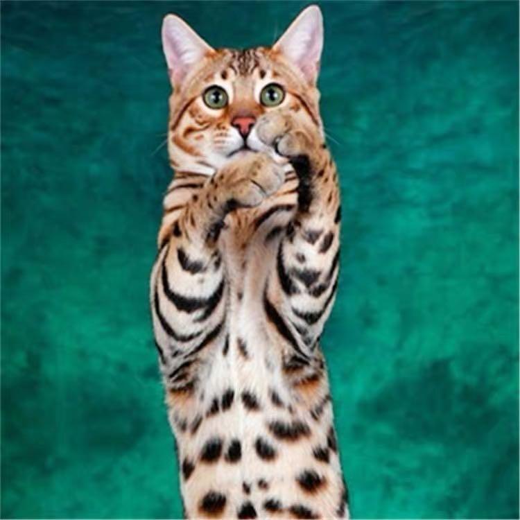 CFA注册猫舍孟加拉豹猫活体幼猫 可支持上门挑选2