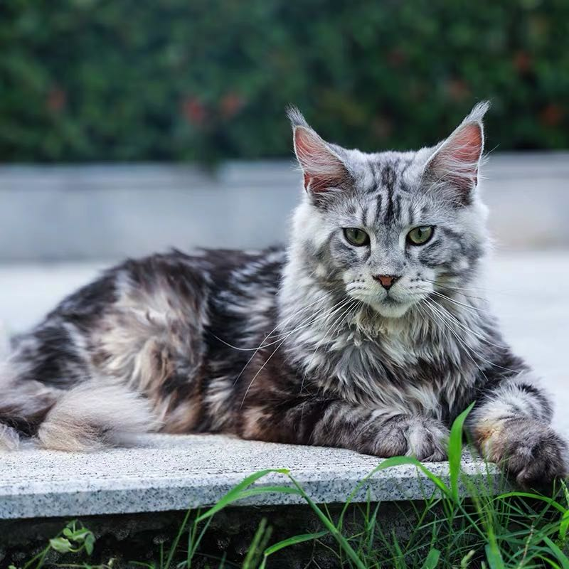 CFA注册猫舍 纯种幼崽巨型库恩缅因猫