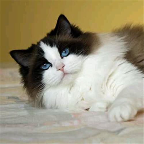 CFA注册猫舍 纯种布偶海双 可支持上门挑选