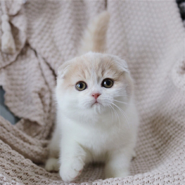 CFA注册猫舍苏格兰纯种折耳猫活体 可上门挑选