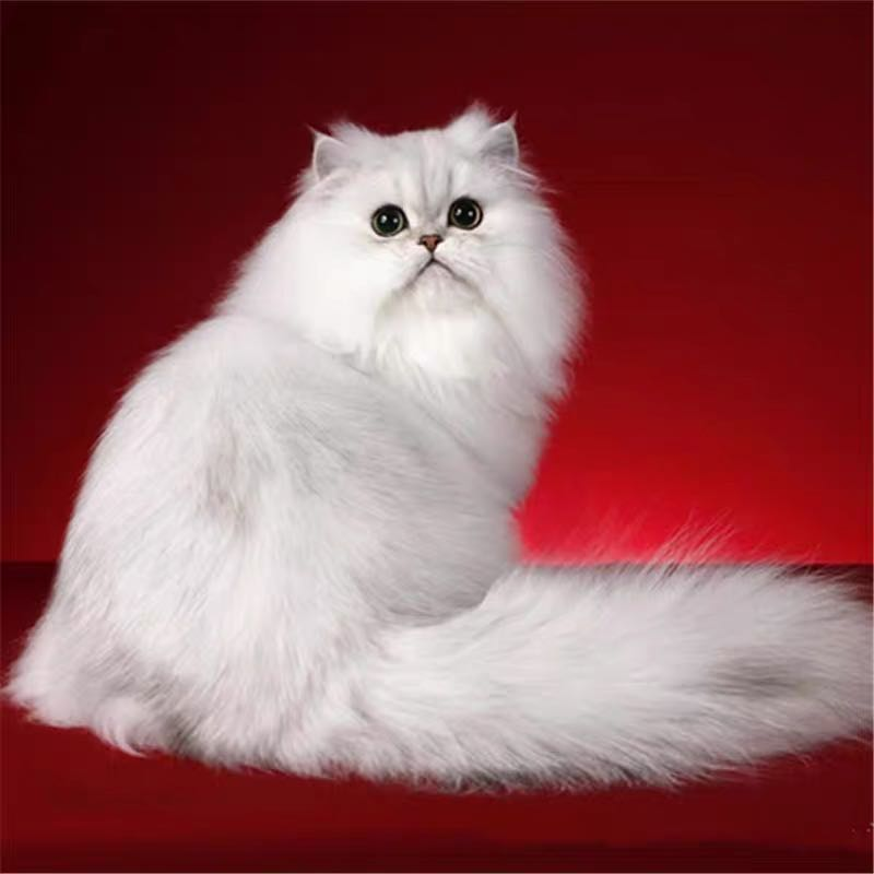 CFA注册猫舍 纯种金吉拉活体 纯正血幼崽 可上门挑选