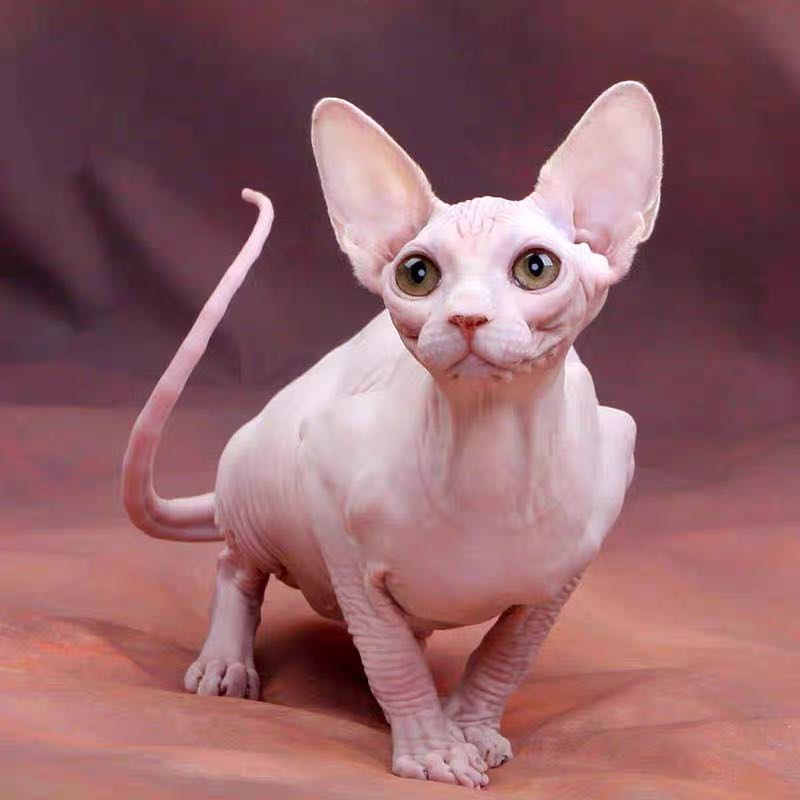 CFA注册猫舍 加拿大无毛猫活体幼猫斯芬克斯猫 幼崽