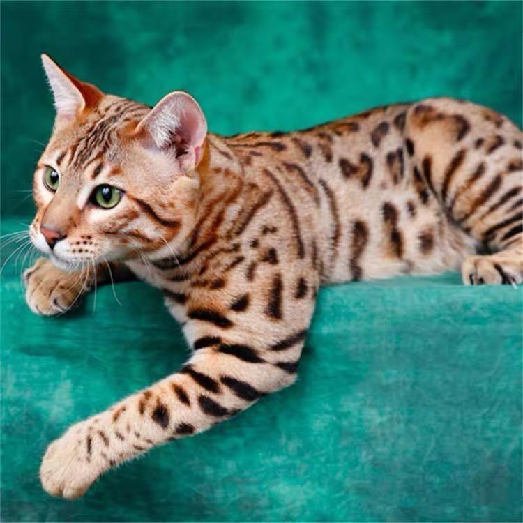 CFA注册猫舍孟加拉豹猫活体幼猫 可支持上门挑选3