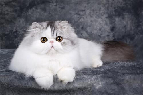 CFA注册猫舍赛级波斯幼猫活体 可上门挑选
