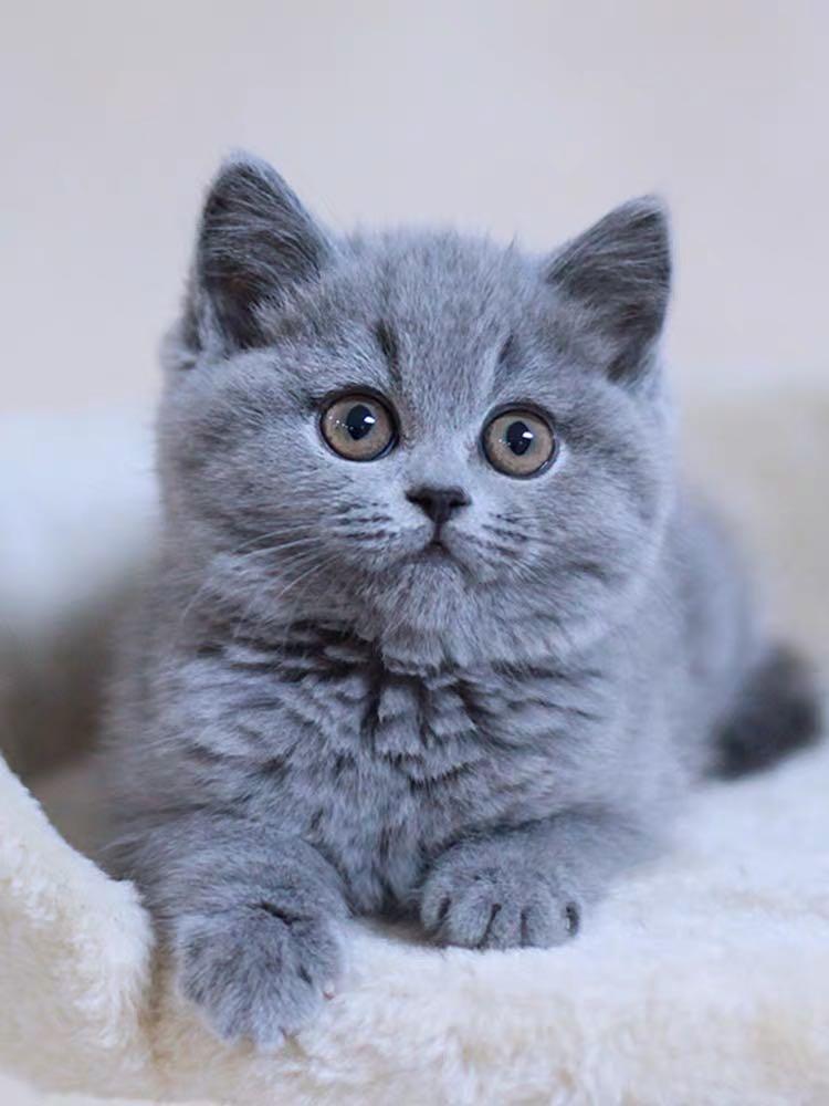CFA注册猫舍 纯种英短蓝猫活体宠物猫
