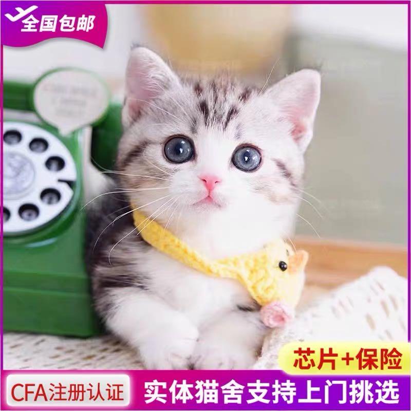 CFA注册猫舍 曼基康矮脚幼猫宠物猫美短起司加白短腿猫