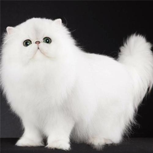 CFA注册猫舍 赛级波斯猫幼猫活体 可上门挑选