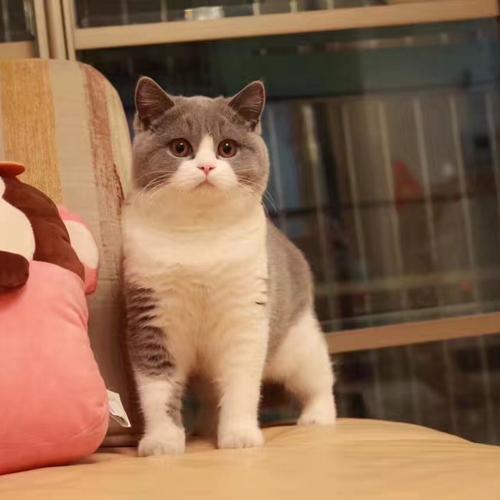 CFA注册猫舍纯种英国短毛猫蓝白幼猫活体 可上门挑选