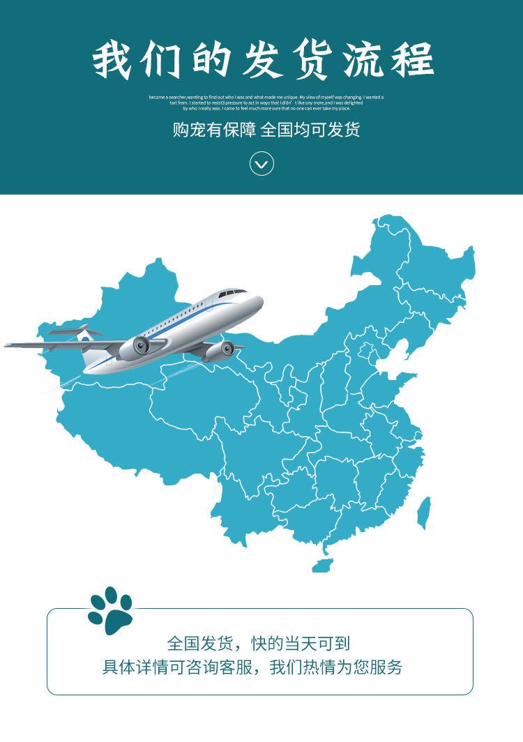 CFA注册猫舍纯种豹猫幼猫活体 可上门挑选7