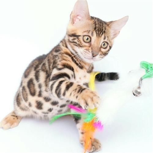 CFA注册猫舍纯种豹猫幼猫活体 可上门挑选3