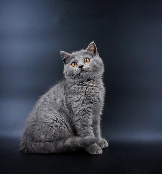CFA注册猫舍纯种蓝猫幼猫活体 可上门挑选