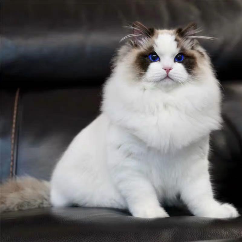 CFA注册猫舍纯种布偶猫海双蓝双仙女猫 可上门挑选
