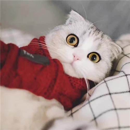CFA注册猫舍纯种苏格兰折耳起司幼猫活体 可上门挑选