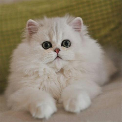 CFA注册猫舍出售纯种金吉拉幼猫活体 可上门挑选