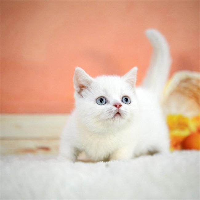 CFA注册猫舍纯白矮脚曼基康宠物猫活体 可上门挑选