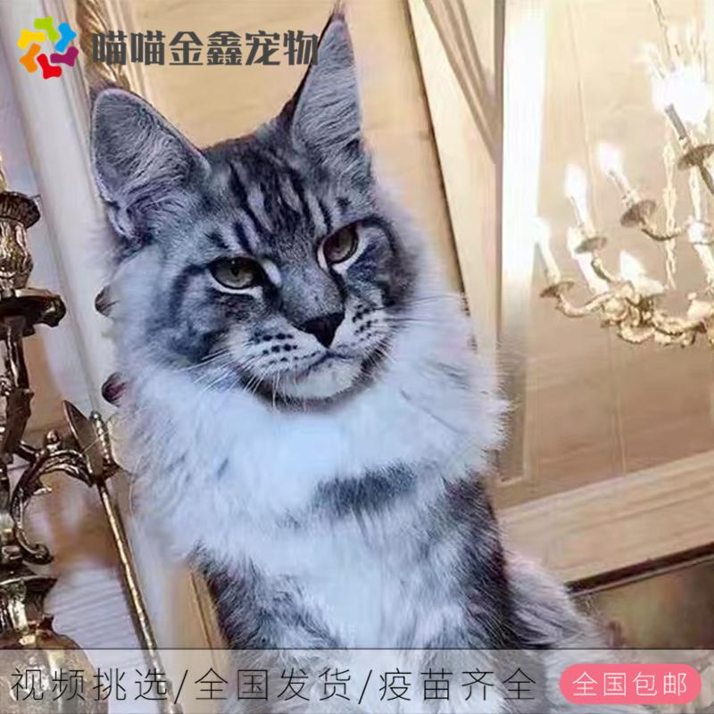 全国连锁正规猫舍缅因猫可以上门挑选签订合同