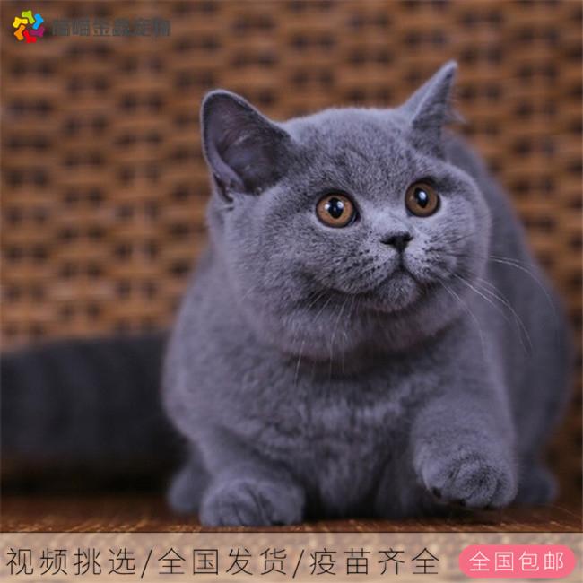 全国连锁正规猫舍 纯种蓝胖子可以上门挑选