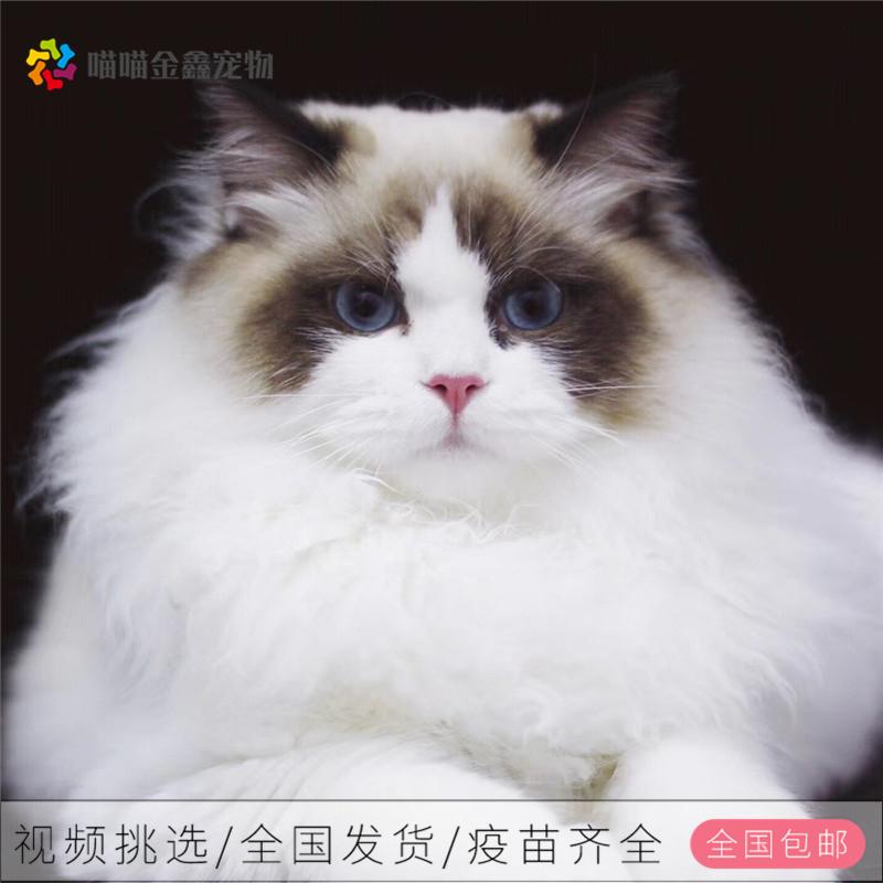 美短银渐层猫多少钱一只图片