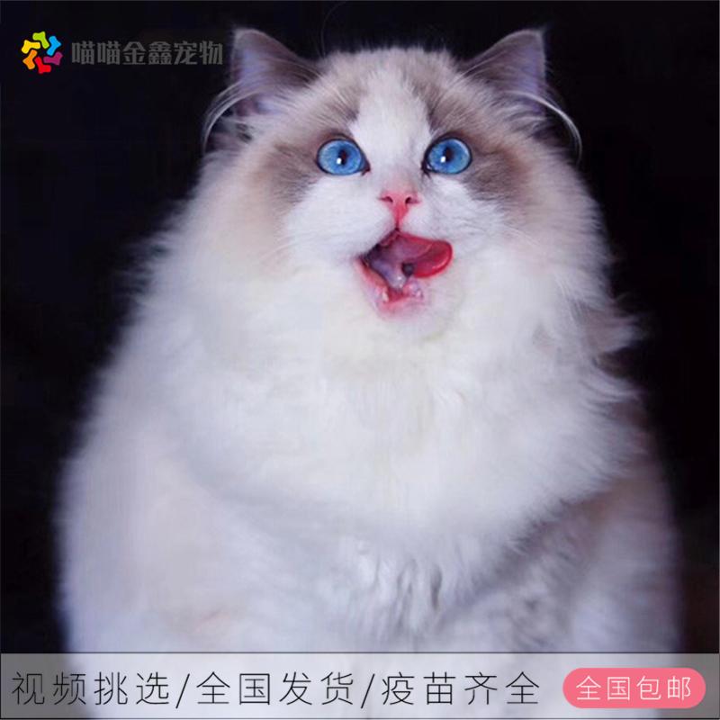 布偶猫 纯种布偶猫多少钱 网红布偶猫出售 布偶猫小猫