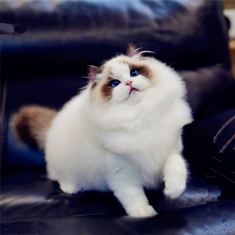 CFA认证注册猫舍 纯血统布偶猫咪