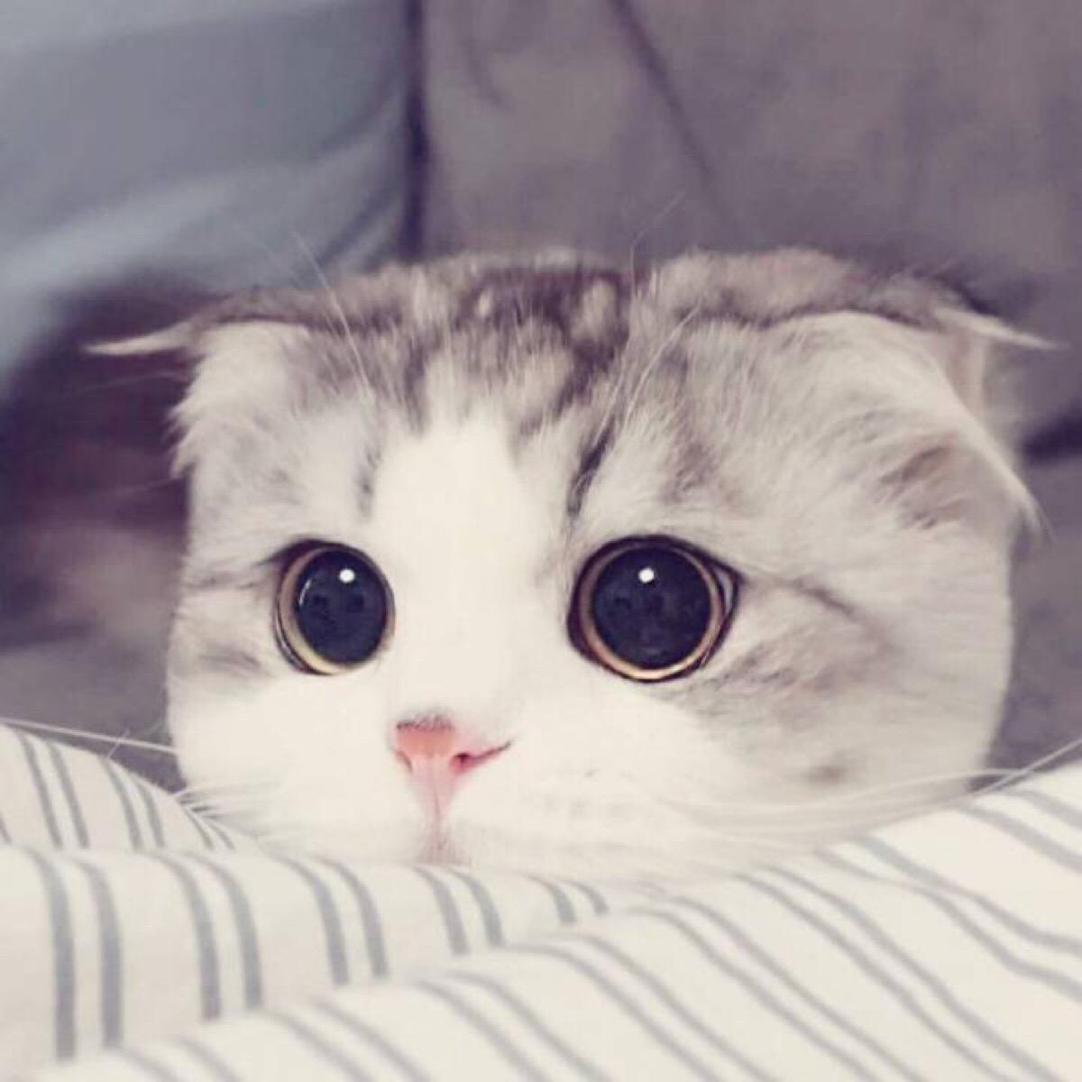 CFA认证注册猫舍 苏格兰折耳猫