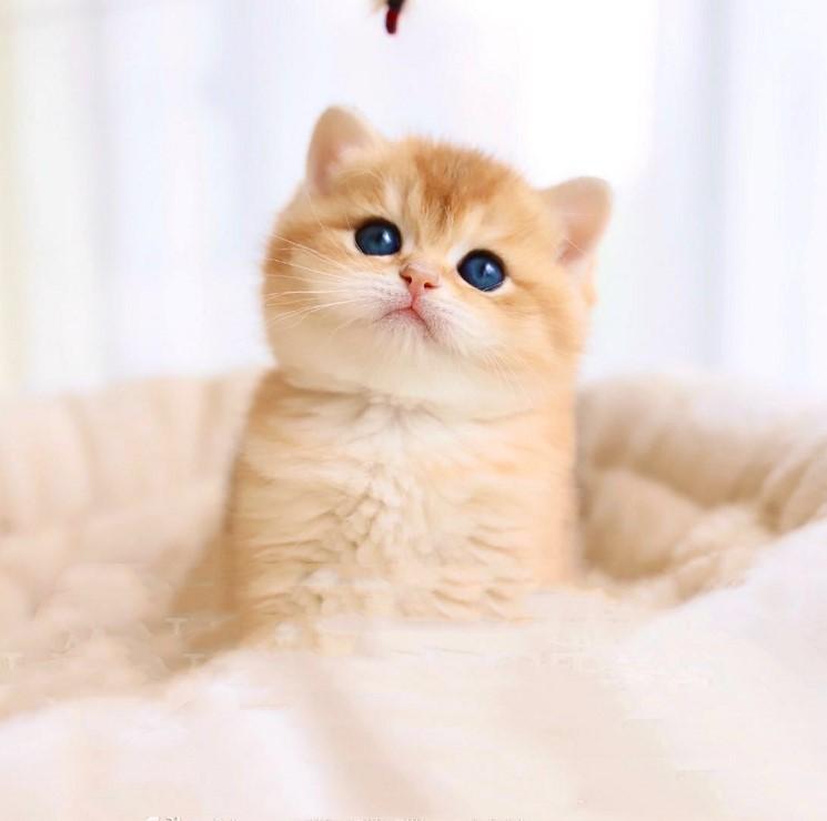 CFA认证注册猫舍精品英国短毛猫