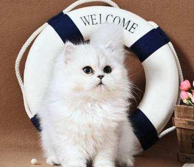 CFA认证注册猫舍 精品金吉拉