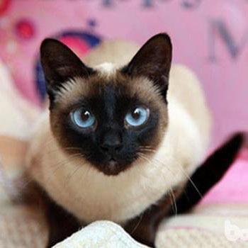 CFA认证注册猫舍纯血统暹罗猫